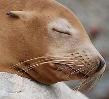 Sea Lion Snoozing by Janderson63
