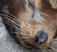 Sea Lion by Janderson63
