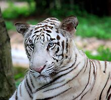 White Tiger by Indrani Ghose