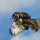 Red-tailed Hawk in Flight by Ron Kube