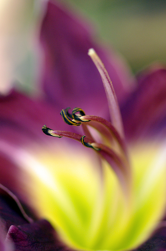 Day Lilly by Jenny Dean