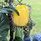 Yellow Tulip by ©Dawne M. Dunton