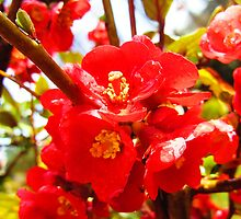 Crab Apple Flowers by largo