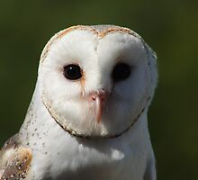 Barn owl by Matt  Harvey