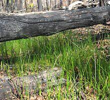 Sarah's Bushfire rejuvenation image 1 by sarahmacsmiles