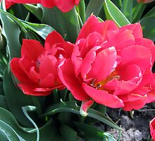 Red tulip by schaduwvacht