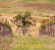 Pokolbin Vineyards - NSW Australia by Bev Woodman