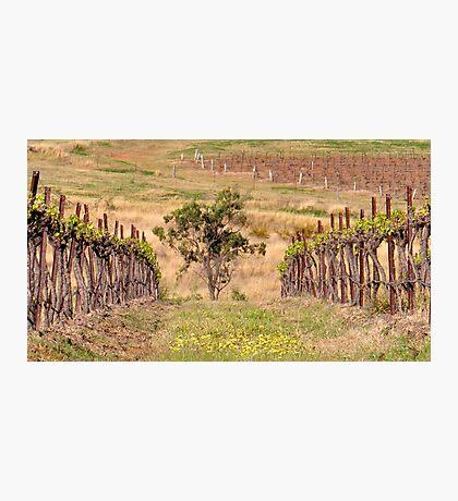 Pokolbin Vineyards - NSW Australia Photographic Print