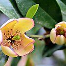 A Judy Zuk Magnolia by ©Dawne M. Dunton