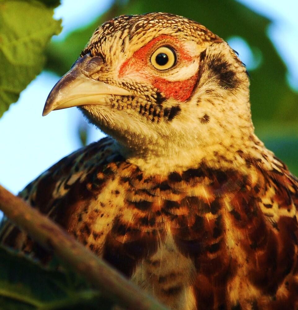 pheasant's face & features by Alan Mattison