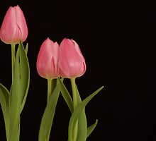 Three Tulips by Todd Morton
