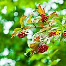 Rowanberry Dream by boxx2genetica