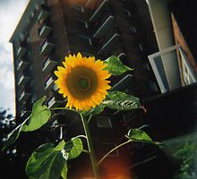Sunflower in the city by fotoshoota
