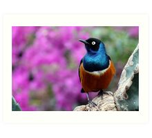 African Superb Starling Perched Before Pink Art Print