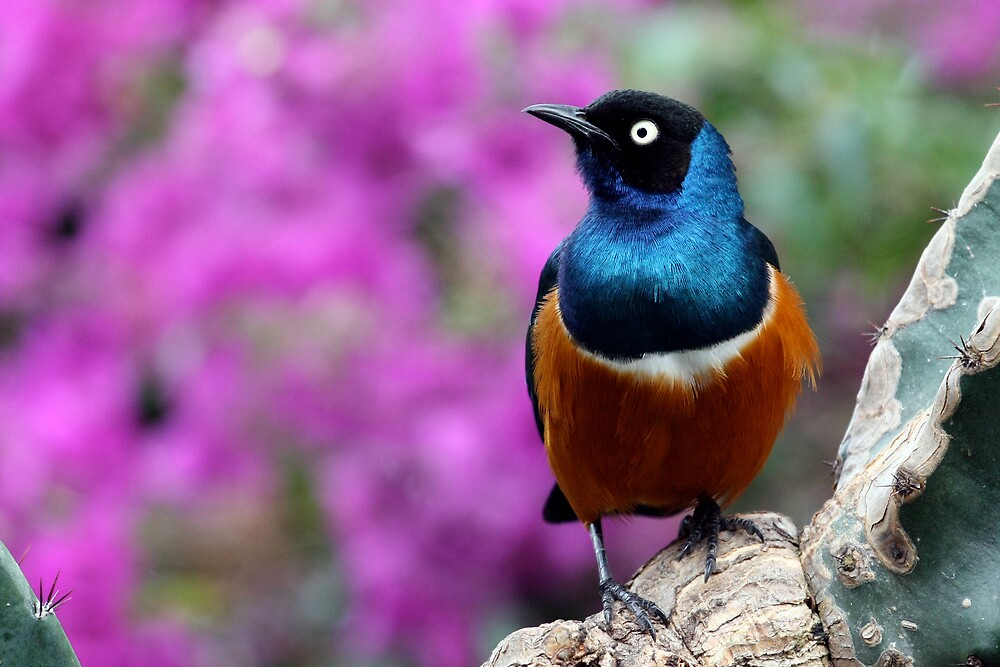 African Superb Starling Perched Before Pink by Wolf Read