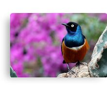 African Superb Starling Perched Before Pink Canvas Print