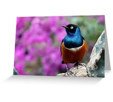 African Superb Starling Perched Before Pink Greeting Card