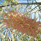 Soft Pink Grevillea by Vanessa Barklay