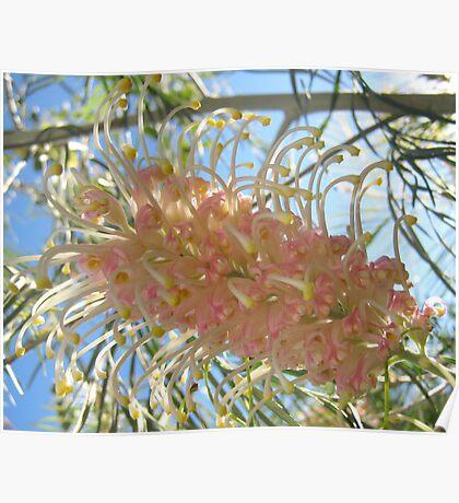 Soft Pink Grevillea Poster