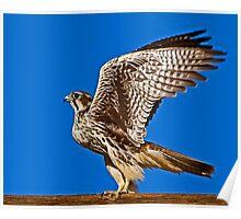 0830092 Prairie Falcon Poster
