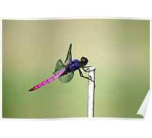 Pink and Purple Dragonfly Poster