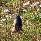 Columbian Ground Squirrel - Glacier National Park by Dave Martsolf