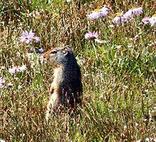 Columbian Ground Squirrel - Glacier National Park by Dave Martsolf
