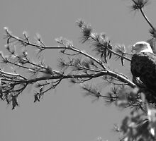 Bald Eagle by Joe2112