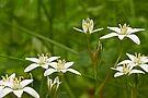 Star Of Bethlehem Wildflower - Grass Lily - Ornithogalum umbellatum by MotherNature