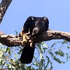 Crow with a cane toad by Forto