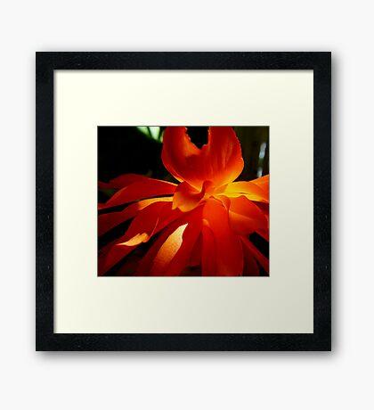 flame orange begonia Framed Print