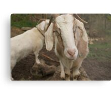 More smirking goats Metal Print