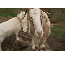 More smirking goats Photographic Print