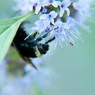 slumber sweetly softly buzzing by Jenny Miller