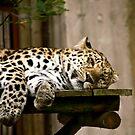leopard by cynthiab
