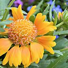 Gaillardia 'Oranges and Lemons' by ©Dawne M. Dunton