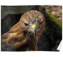 Red Tailed Hawk - Charlie Poster