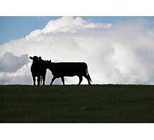 Dos vacas negras Photographic Print