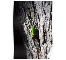 Sedge Frog Poster