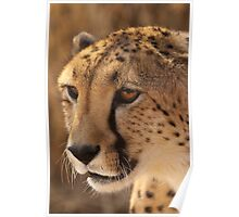 Cheetah Portrait Poster