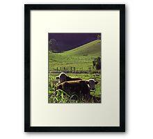 Mullumbimby Bulls Framed Print