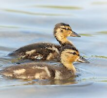 Twin siblings - Mallard babies by Poete100
