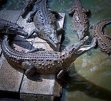 Cuban Crocodile ........ by jdmphotography