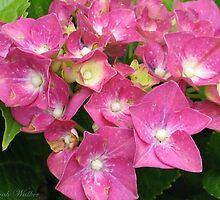 Pink Hydrangea by plunder