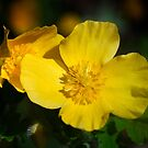 Wood Poppy - April 2015 by cclaude
