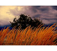 Grasses  Blowing In the wind  Photographic Print