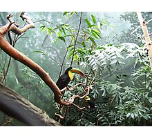 Toucans at the Zoo Photographic Print