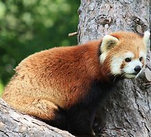 Red Panda by Agood