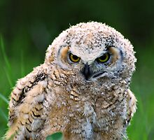 Great Horned Owlet by Ron Kube