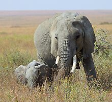 Elephants, Serengeti, Tanzania  by Carole-Anne
